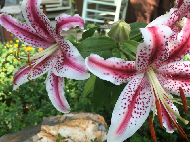 """""""Dizzy"""" Oriental Lily by Mid-Life Blogger"""